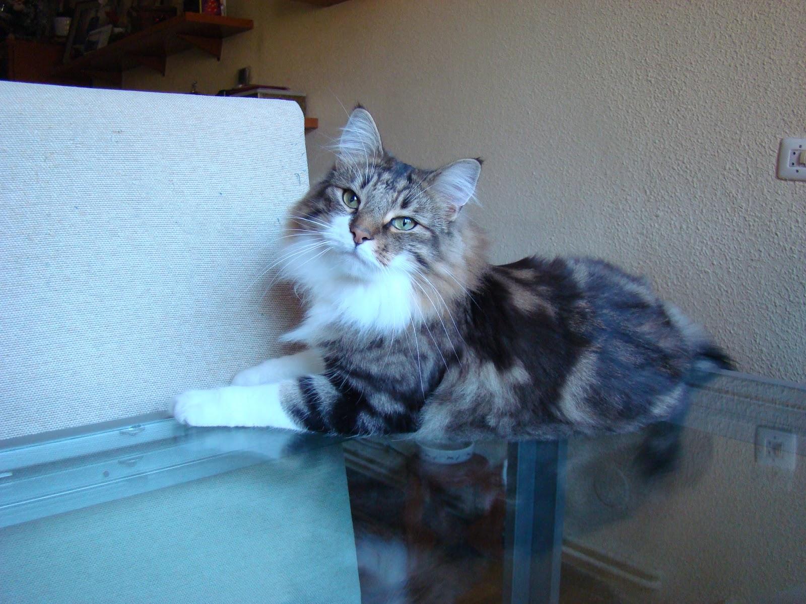 TODO SOBRE MI GATO: Gatas y Gatos tricolores