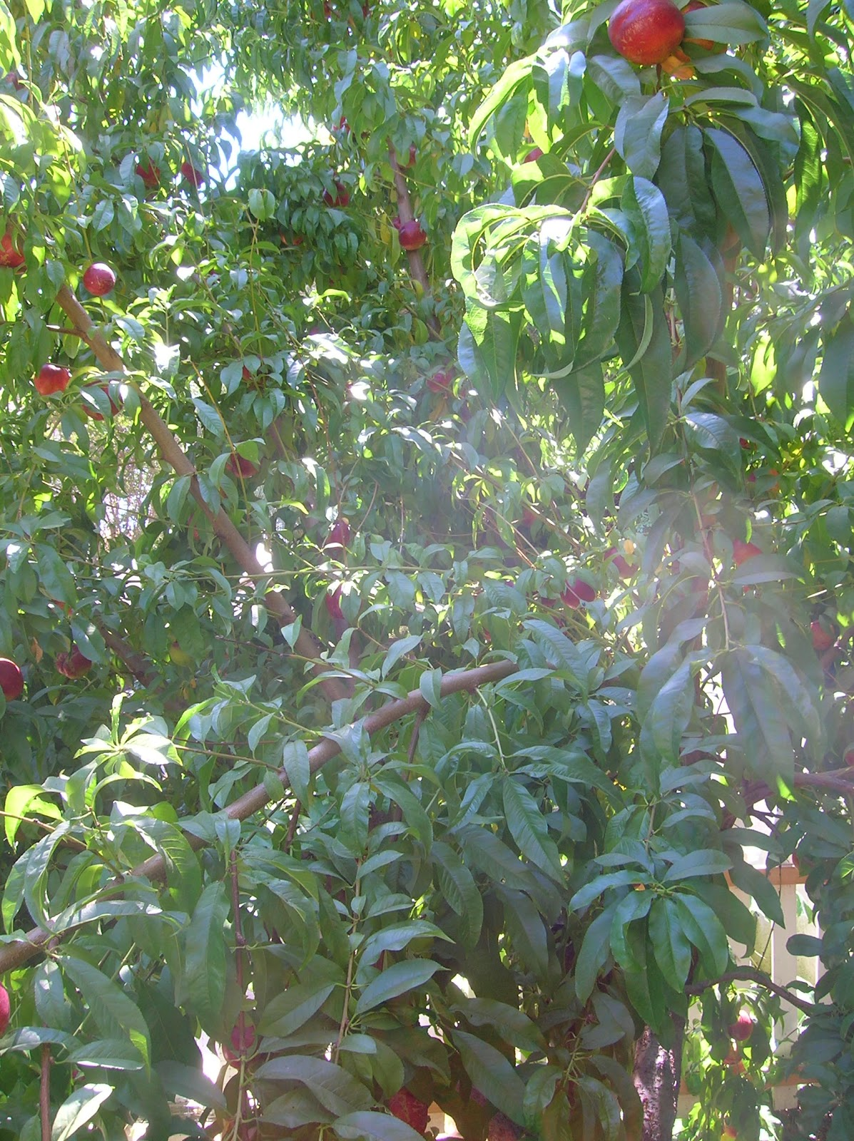 how to grow a nectarine tree from a stone