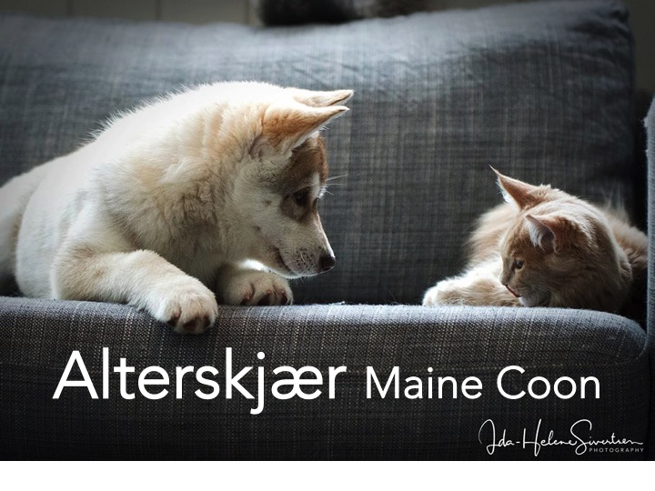 Alterskjær Maine Coons