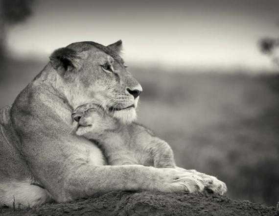 Blanc et Noir ... Noir et Blanc ... - Page 3 Mamans-bebes-animaux-maman-bebe-lion-img