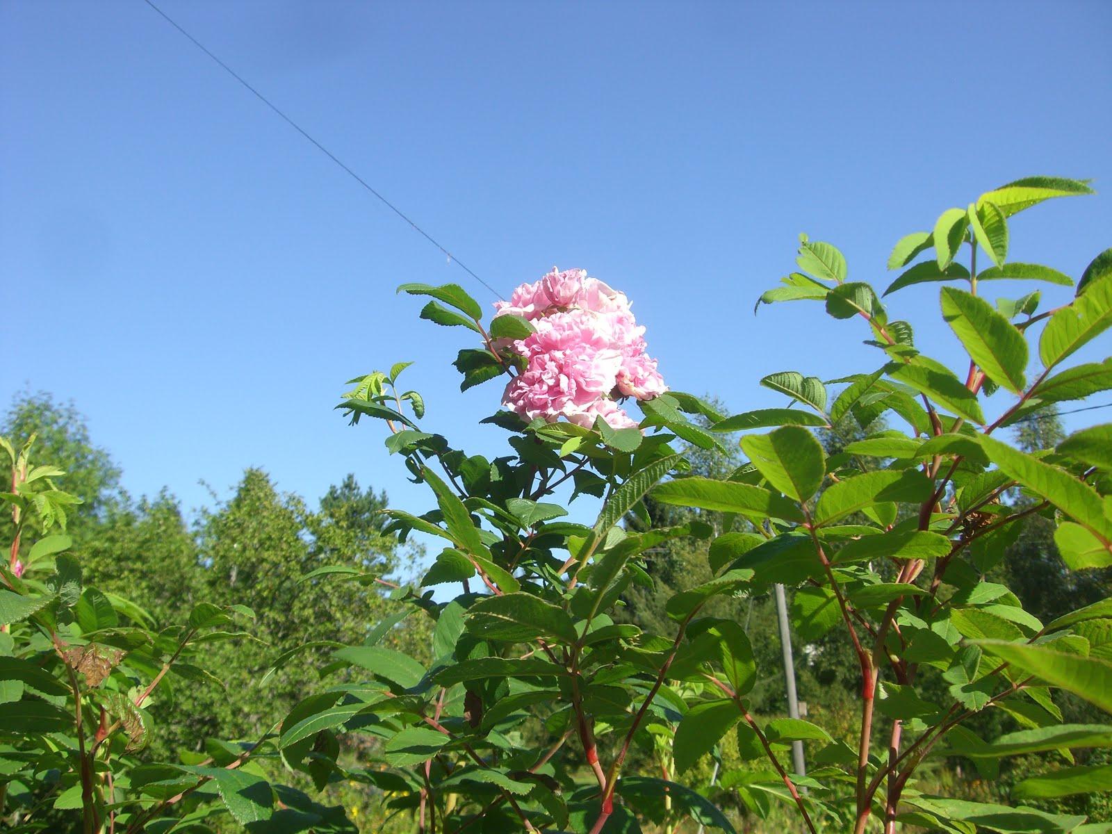 Teresanruusu jo melkein 2 m korkea