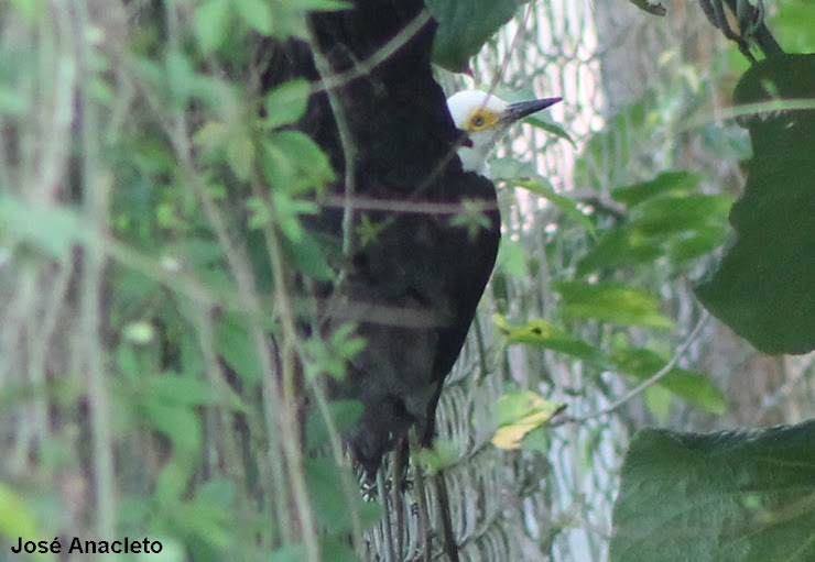 100º AVE FOTOGRAFADA NO POMAR COAMA - PICA-PAU-BRANCO - Melanerpes candidus - White Woodpecker