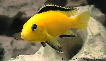 Sarı prenses (Labidochromis Caeruleus)