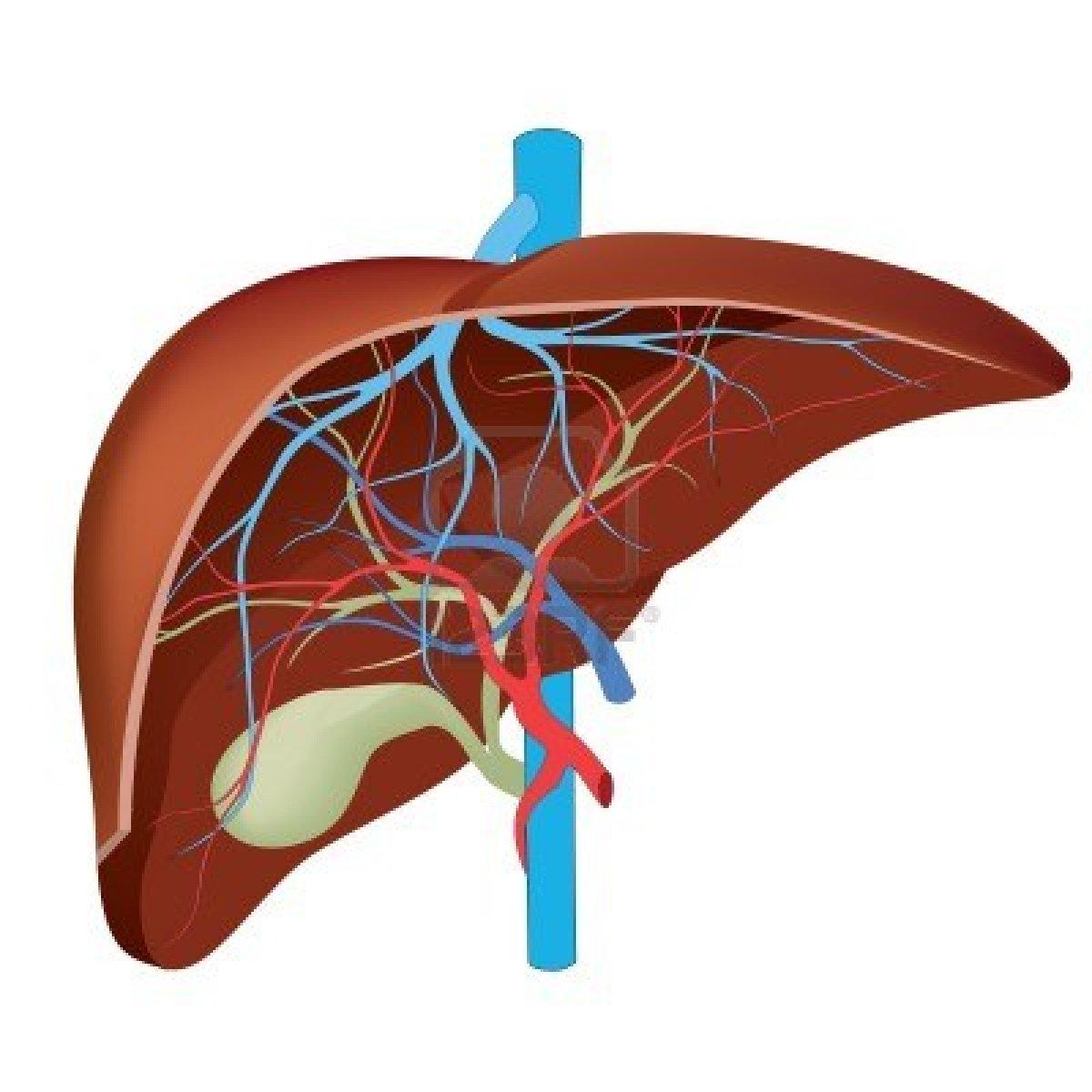 Human liver location diagram human liver location diagram photo3 ccuart Choice Image