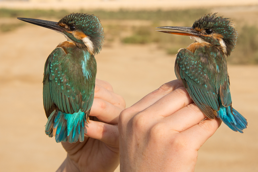 Common Kingfishers - male (left) & female (right)