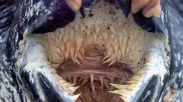 La más temible boca en el mundo pertenece a una especie de tortuga