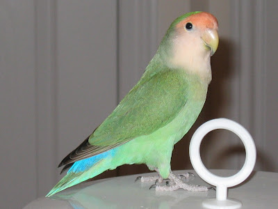 Foto Peach-Faced Lovebird