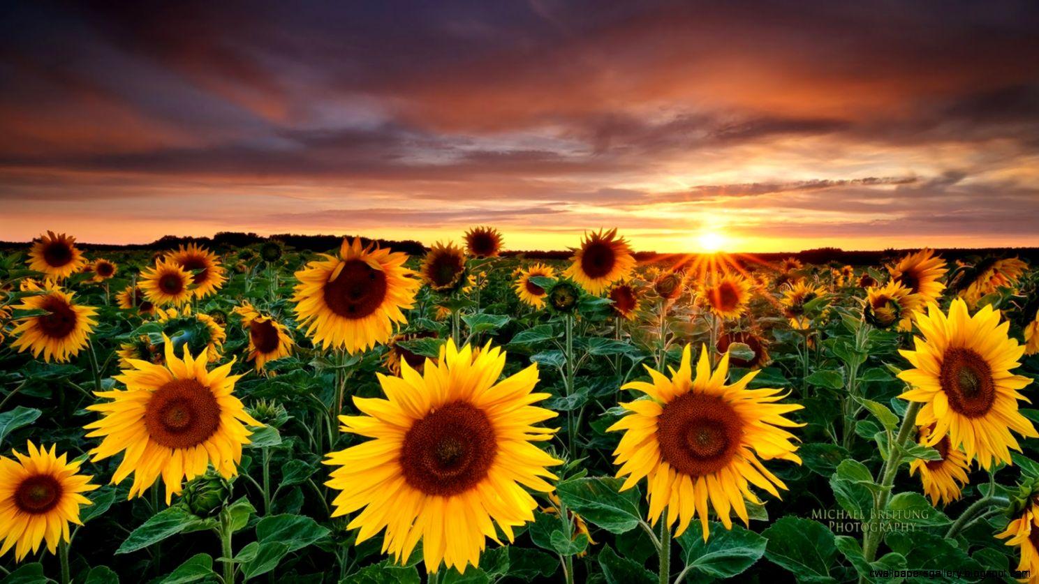 Sunflower Photography Tumblr   wallpaper