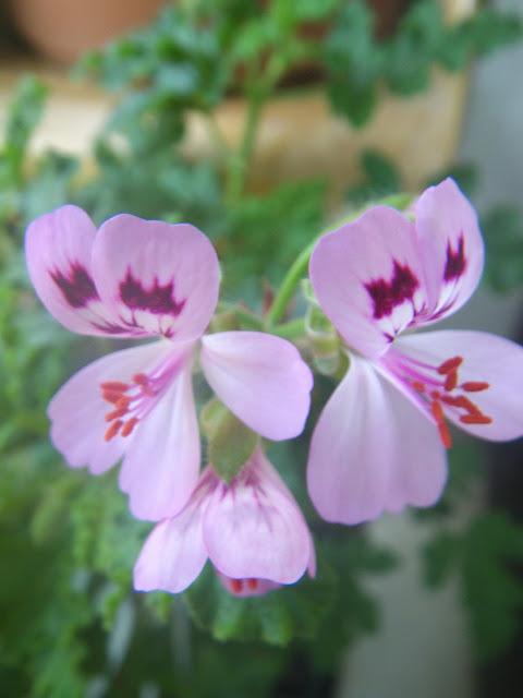 Pelargonium Quercifolium flowers