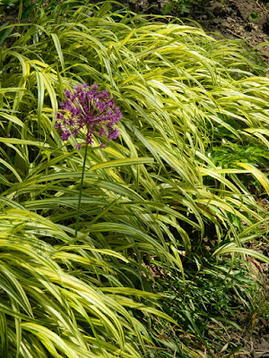 Japanese Forest Grass Hakonechloa macra Aureola with allium by garden muses-not another Toronto gardening blog