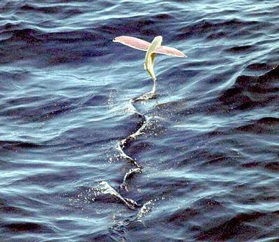Foto ikan Terbang