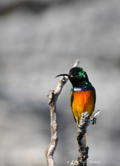 Orange breasted sunbird