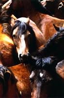 Aumenta a matança de cavalos para o consumo na Espanha