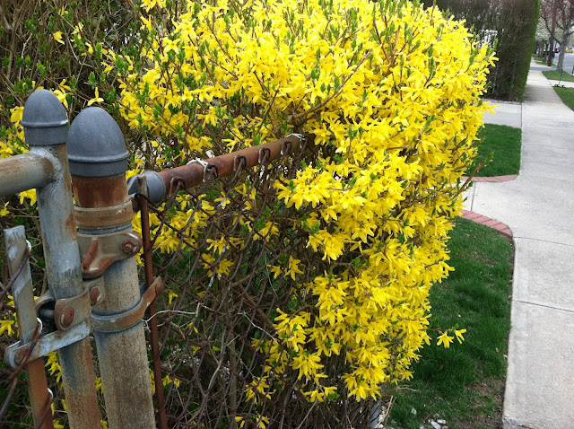 Forsythia-in-Spring-in-Farmingdale