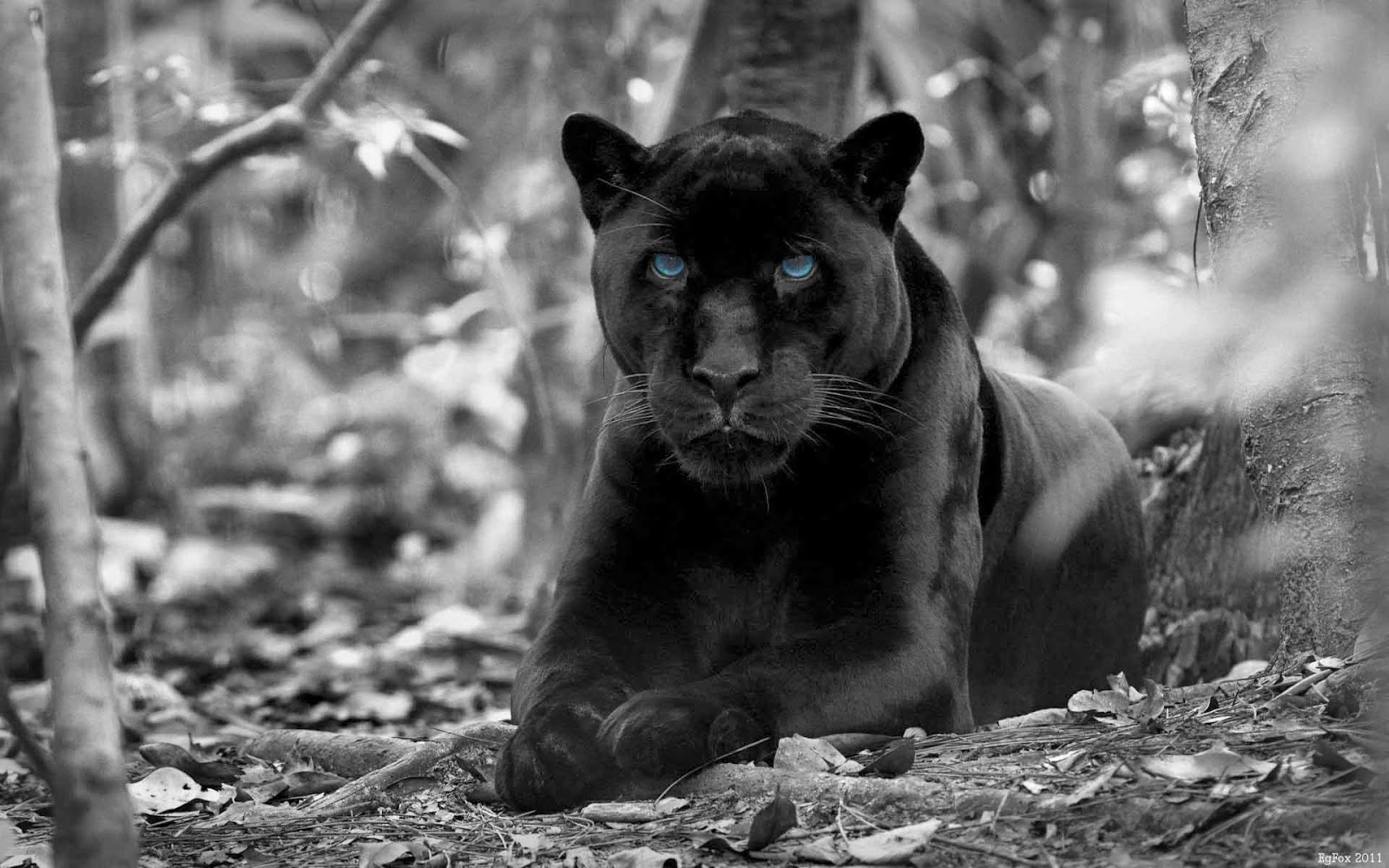 Angry black jaguar - photo#6