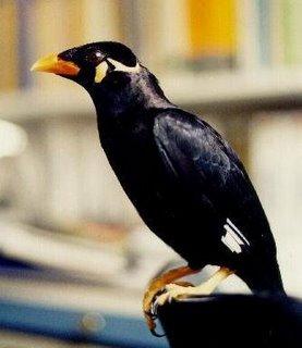 Burung Kicau Beo : Burung Beo Yang Dapat Meniru Bahasa Manusia Dengan Baik