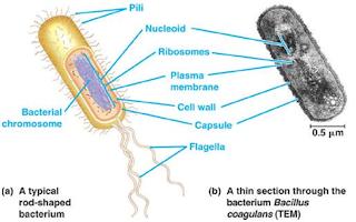 struktur sel prokariotik dan eukariotik