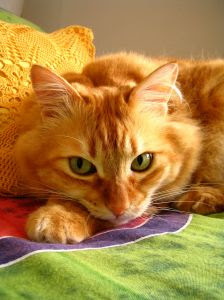 lovely yellow cat contemplating