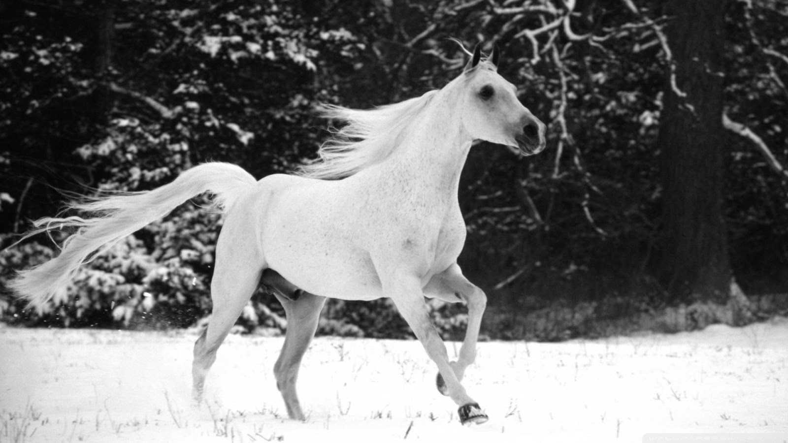 Most Inspiring   Wallpaper Horse Dark Brown - Running+White+Horse+In+Snow+wallpaper+(3)  2018_337568.jpg
