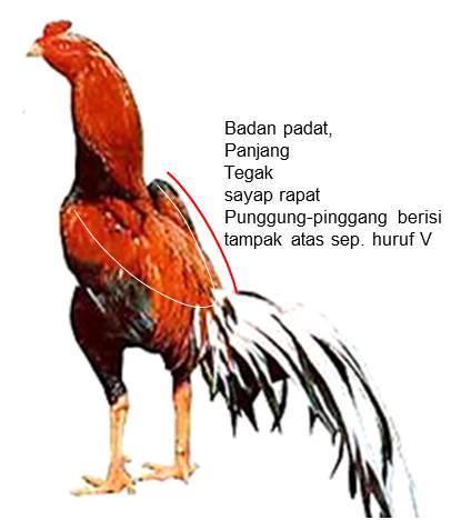 Ciri ayam bangkok aduan badan panjang padat