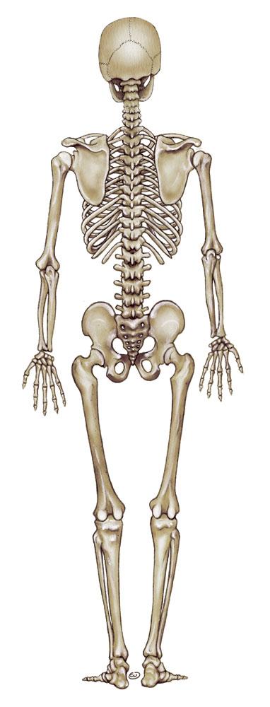 eufepru Esqueleto de hombre