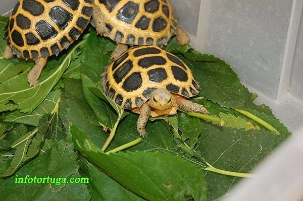 Indotestudo forstenii - Tortuga de Sulawesi