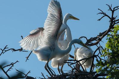 Juvenile Great Egrets, UT Southwestern Medical Center