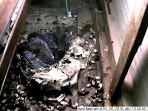 webcam su nido di rondone pallido