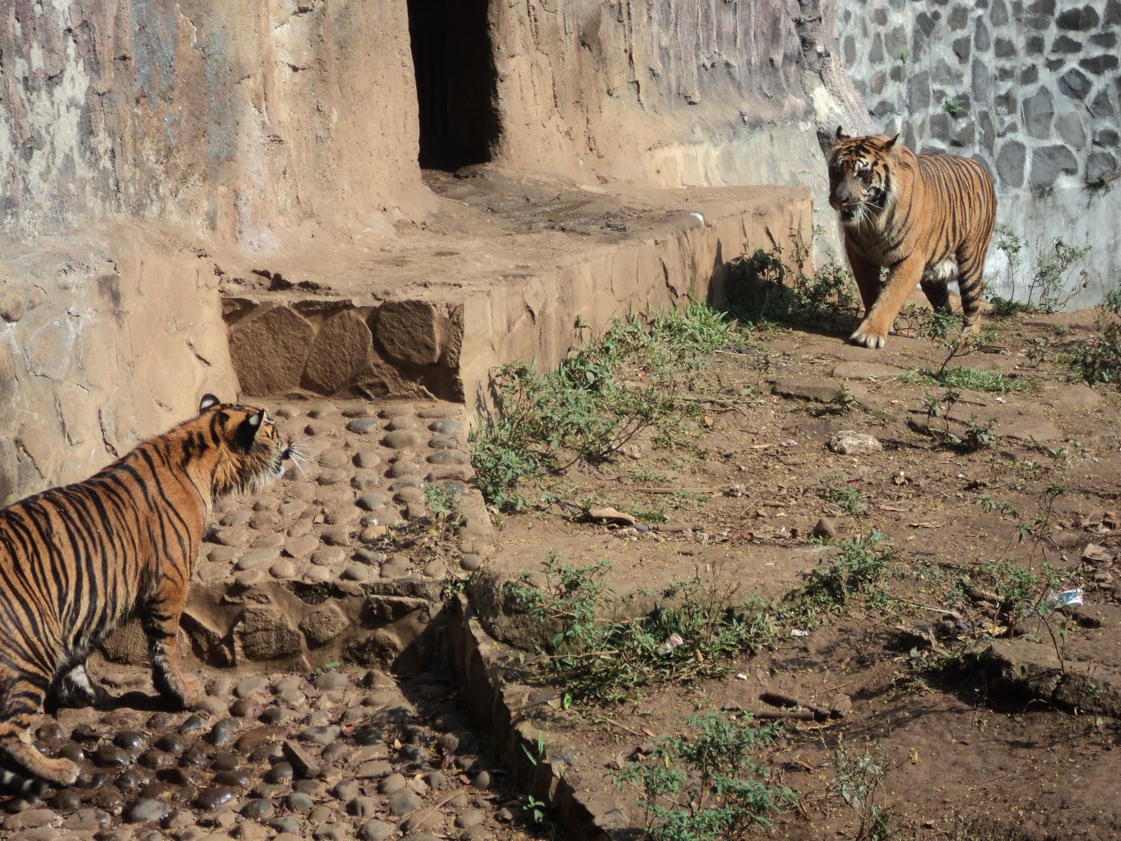 Judul Foto : Harimau (Pathera tigris sumatrae)