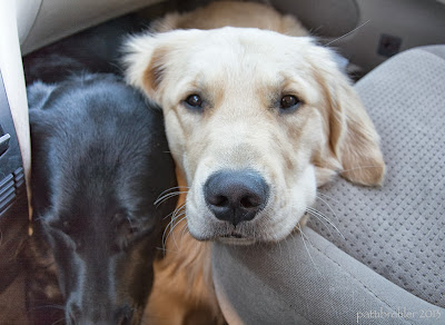 A close shot of a black lab head (looking down) on the left next to a golden retriever looking  right at the camera. They are squeezed next to each other on the floor of the front passenger side  seat of a van.
