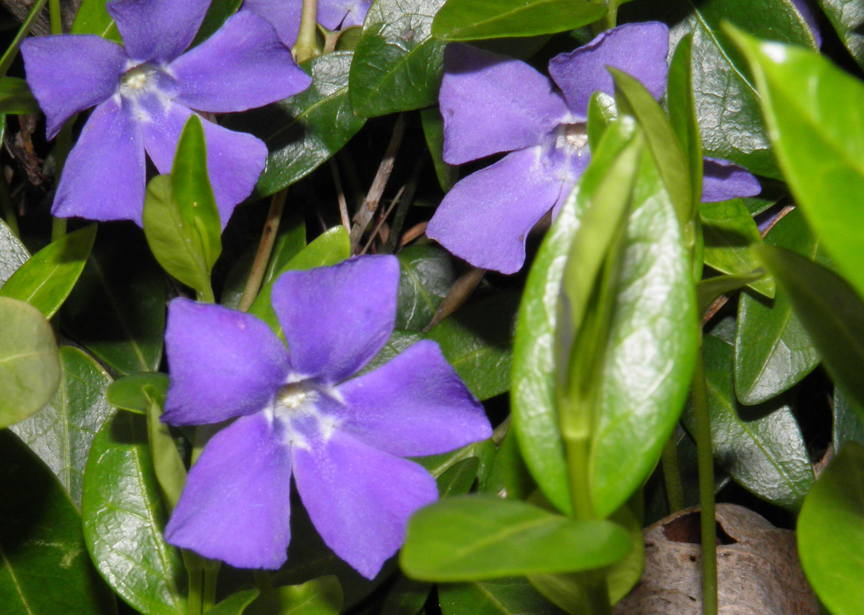 Devoid of culture and indifferent to the arts gardening for Vinca major