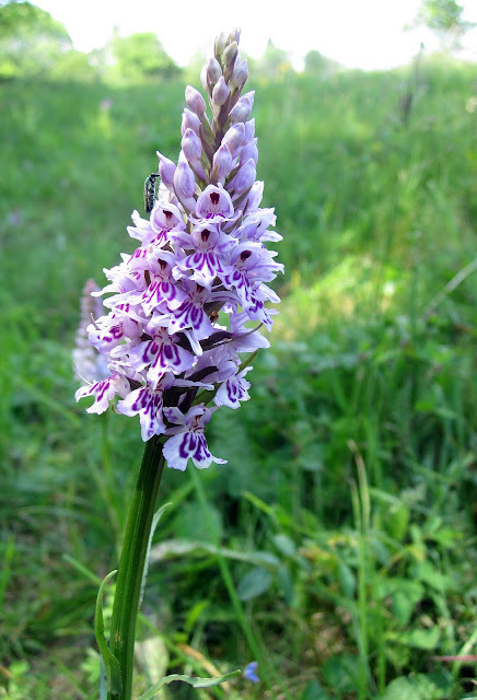 Common spotted orchid, Dactylorhiza fuchsii, with beetle. High Elms Country Park, 4 June 2011.