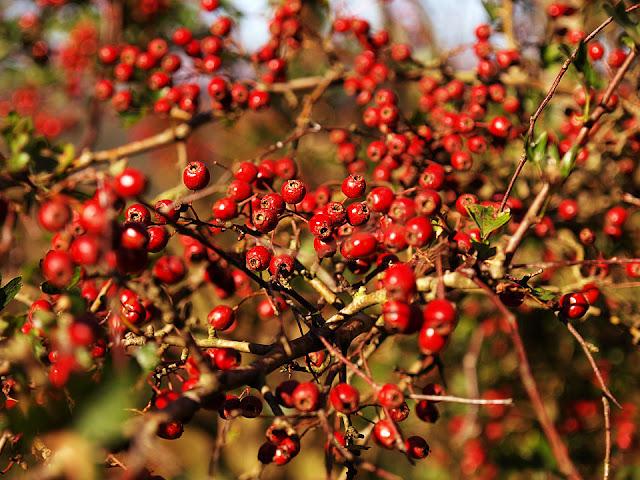 Autumn Berries4