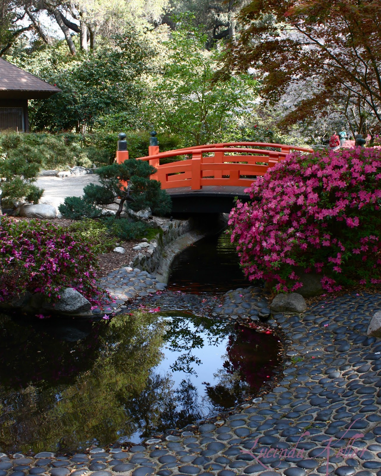 Japanese Garden: Cobalt Violet: Japanese Gardens And Lilacs In Bloom