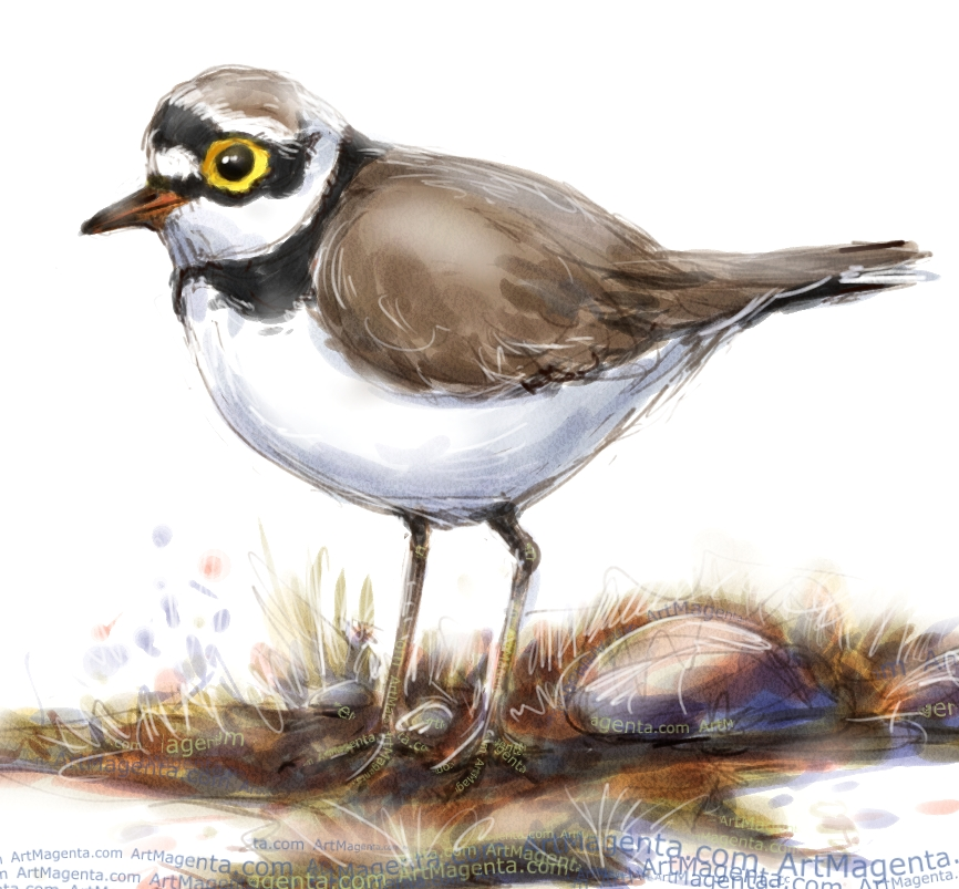 Little Ringed Plover is a bird sketch by artist and illustrator Artmagenta