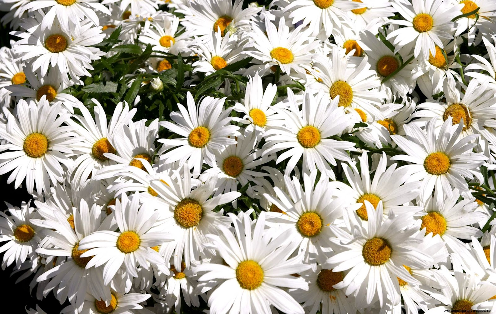 Daisy Flower Pictures Wallpapers