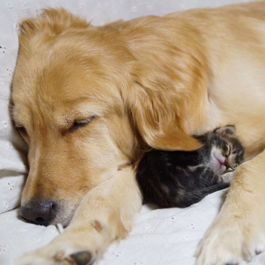 #11 Golden Retriever And An Abandoned Kitty - Unusual Animal Friendships That Are Absolutely Adorable!
