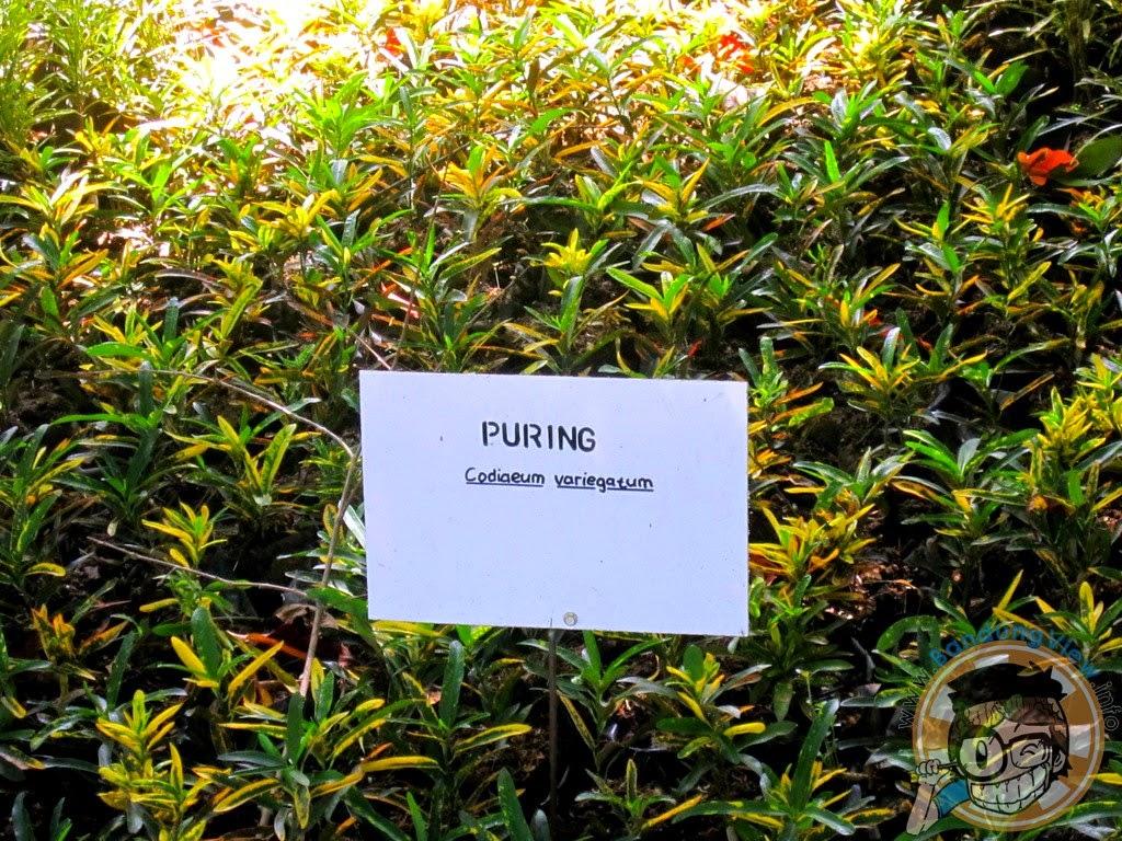Puring - Taman pustaka bunga kandaga puspa
