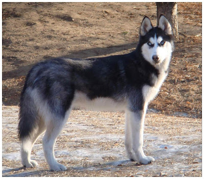 siberian-husky-dogs-101
