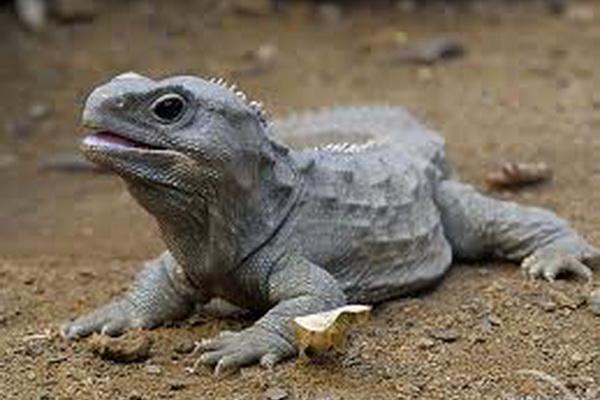 Tuatara | Animal Wildlife