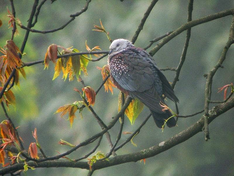 Speckled woodpigeon Columba hodgsoni