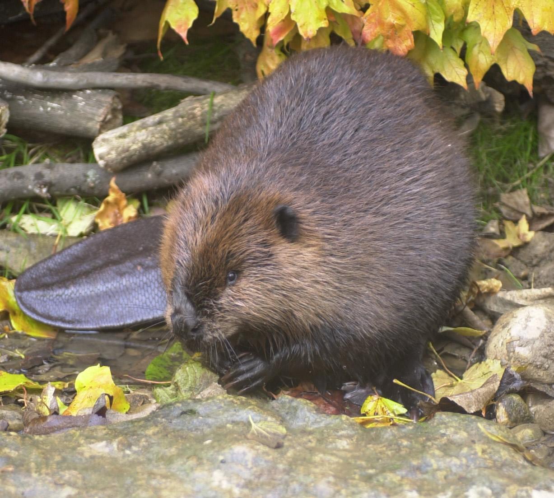 http://3.bp.blogspot.com/-jGD0MSsP-GY/TmstMTD8g2I/AAAAAAAAAMI/GMQ5g6QQiYw/s1600/beaver-3-769837.jpg