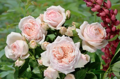 Charles de Nervaux сорт розы фото