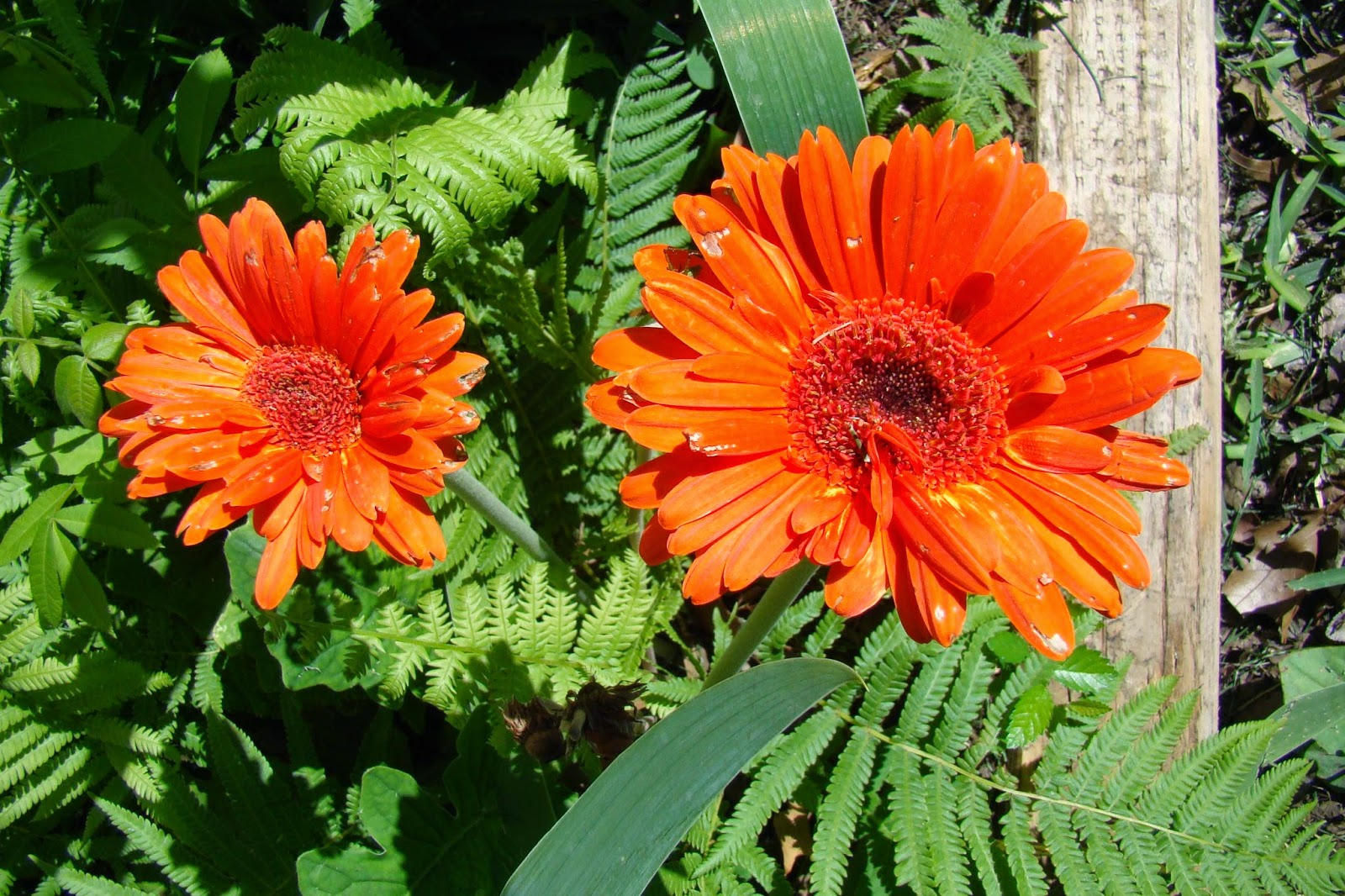 Orange gerbera daisies with imperfect petals