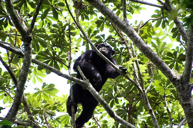Chimp in the Kalinzu Forest in Uganda