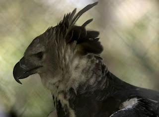 Harpy Eagle Wallpaper