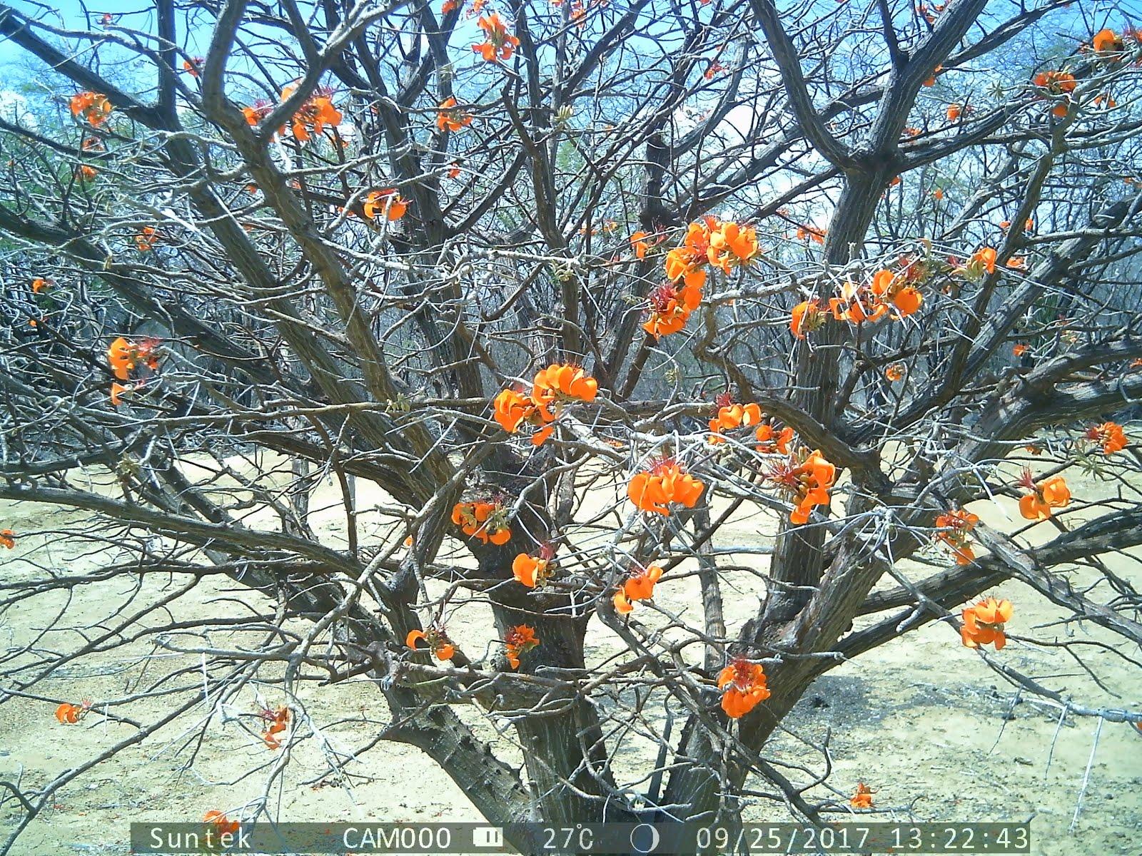 A floração do mulungu na caatinga