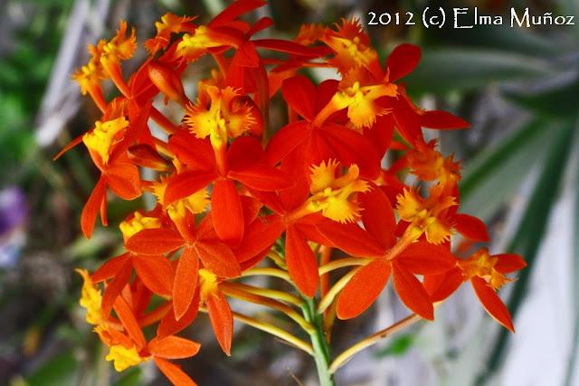 Epidendrum hibrido