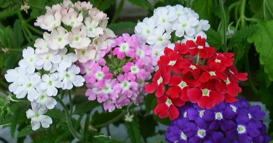 Piante e fiori verbena una pianta antica - Verbena pianta ...