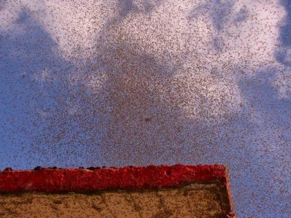 غزاة ملايين البعوض!